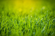 canvas print picture - Fresh green grass