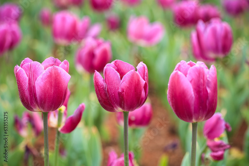 purple tulips in bloom