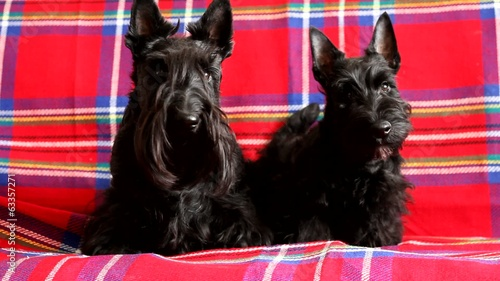 family Scottish Terrier