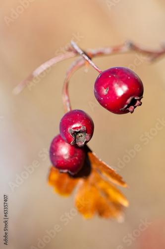 Rose Hip Berries