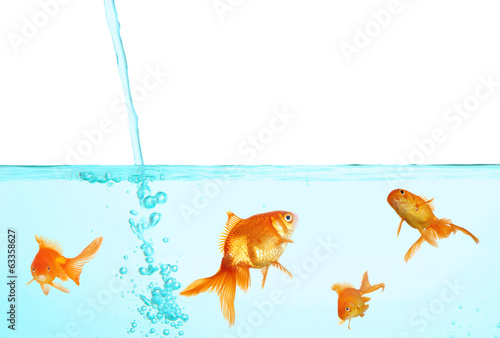 Goldfish in clear water isolated on white