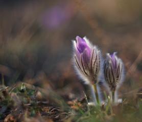 Spring flower (Pulsatilla grandis)
