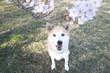 笑顔で見つめる犬と桜の花