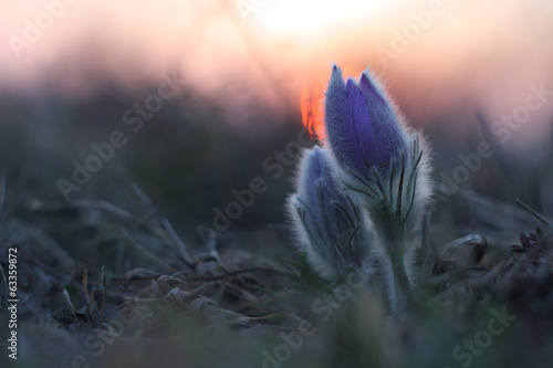Spring flower (Pulsatilla grandis) in sunset