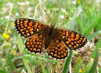 farfalla Melitaea