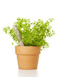 Potted Chervil Plant isolated