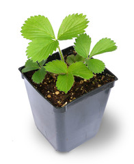 Strawberry Plant in pot