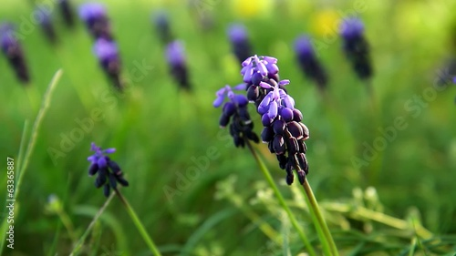 Muscari neglectum flowers in the spring garden
