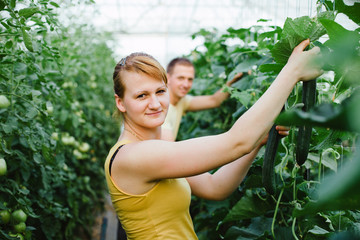 Farmers picking cucumbers in a big greenhouse
