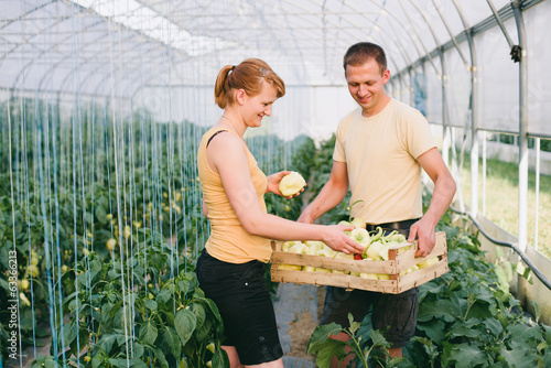Farmers picking peppers in greenhouse