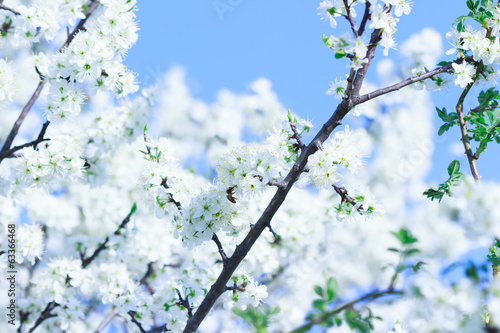 Blossoming tree with white flowers in spring