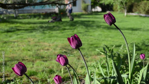 purple tulip flowers and blurred gardener woman cut lawn mower