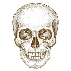 engraving skull on white background