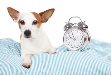 Hund im Bett mit Wecker