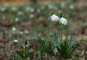 Snowdrops protected species