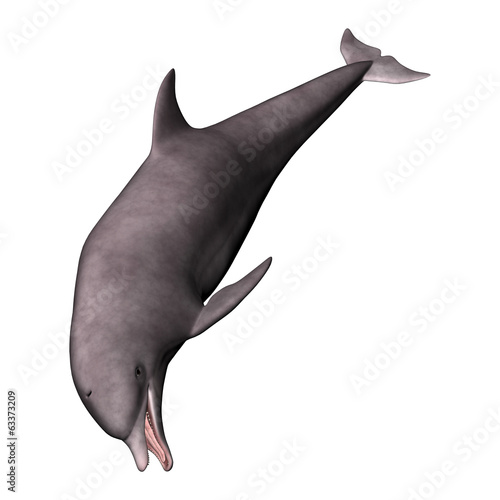 Dolphin on White