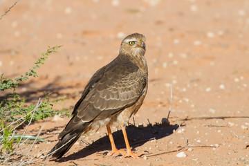 Juvenile Gabar Goshawk standing on dry red Kalahari sand searchi