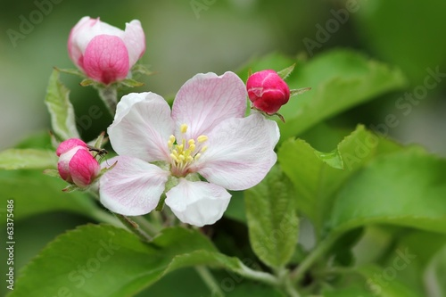 apfelblüten mit kleiner fliege / apple blossoms with small fly