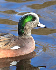 American Wigeon Duck swimming