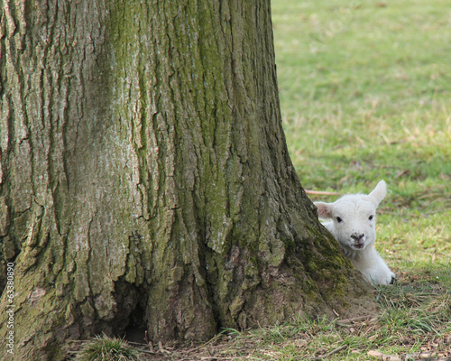 A Newly Born Lamb at the Base of a Large Tree.