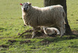 A Mother Yew Sheep with Her Baby Lamb.