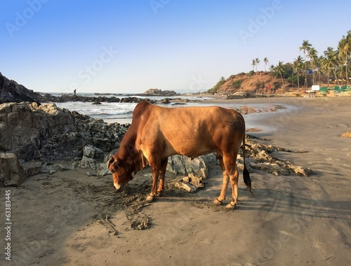 sacred cow on seashore