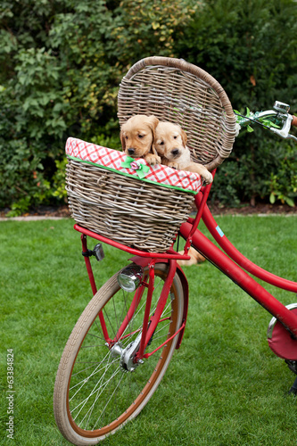 Golden retriever puppies in a basket on a bike