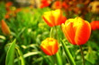 Colorful Tulip
