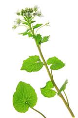 Wasabi (Eutrema japonicum)