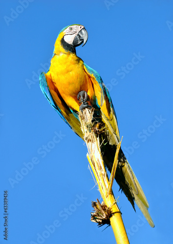 Amazonian Blue-and-yellow Macaw - Ara ararauna in front of a blu