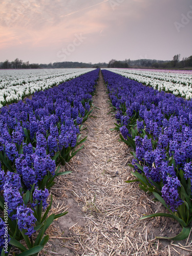 hyacinth field in evening light
