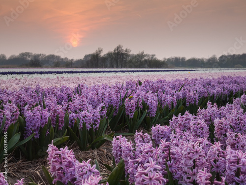 hyacinth field at sundown