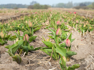 unopened tulips in a bulb field