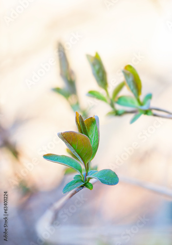 buds of green leaves