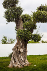 Shaped olive tree