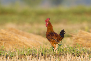 Domestic cock in fields