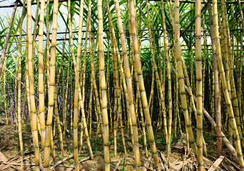 sugarcane plants grow