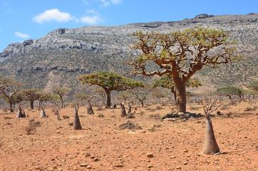 Сокотра, плато Хомхил, ладанные, бутылочные и мировые деревья