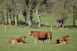 Brown cows and calfs in meadow