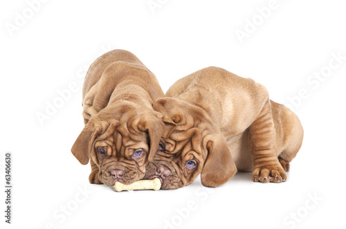 Two French Mastiff pups with a bone