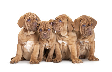 Four French Mastiff puppies