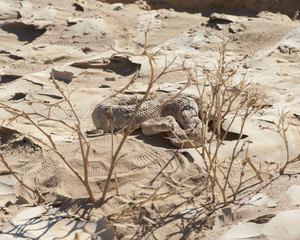 Egyptian desert viper snake in the sand