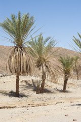Date palm trees in a desert valley