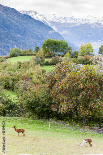 Alps landscape with alpacas near Filisur, canton Graubunden, Swi