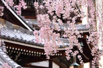 Sakura tree in japanese temple