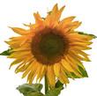 canvas print picture - Sonnenblume, Freigestellt