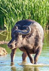 African Buffalo Drinking