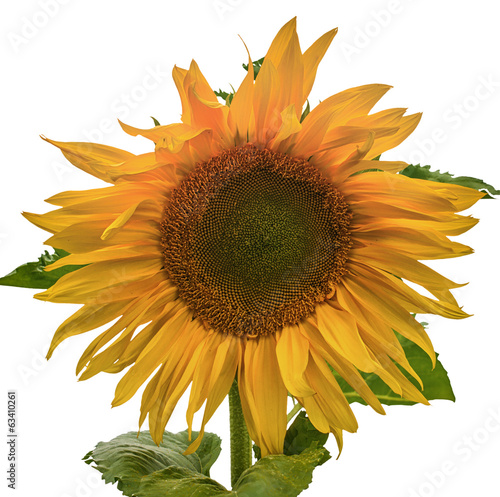 canvas print picture Sonnenblume, Freigestellt