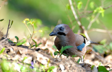 Jay in the forest.