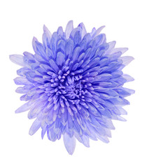 blue color aster isolated on white